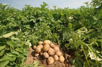 Юрист рассказал, когда могут оштрафовать за выращивание картофеля - ПРАЙМ, 09.01.2021